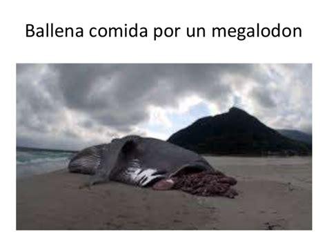 imagenes reales de un megalodon tiburones y megalodon