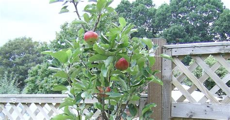 baggieaggie apple trees in pots on patio or deck