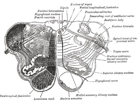 Medulla Cross Section by Medulla Oblongata