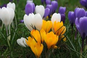 buy large flowering crocus bulbs crocus mixed colours delivery by crocus