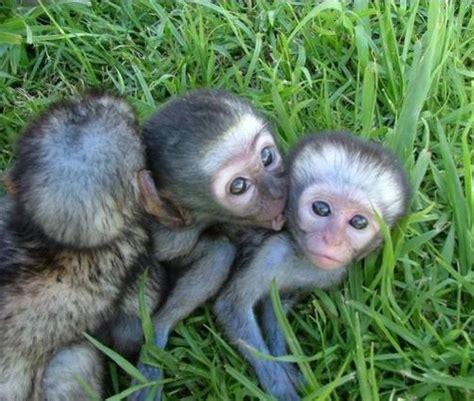 Wo Kann Baby Affen Kaufen 4725 by 220 Ber 1 000 Ideen Zu Affenbaby Auf Einladungen