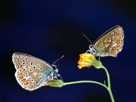 wallpaper cantik kupu kupu kupu kupu cantik animal planet