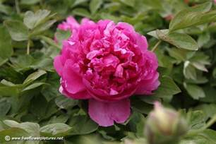 tree peony picture flower pictures 862