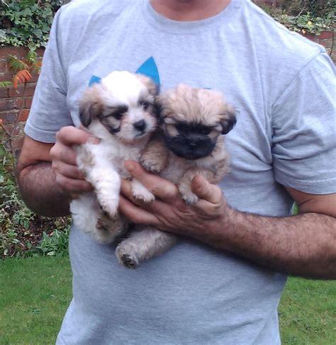 bichon shih tzu puppies for sale bc 2 fi bichon frise x shih tzu puppies hull east of