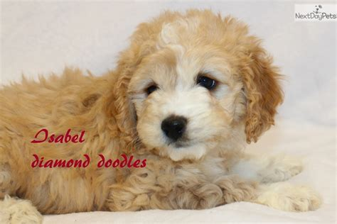 goldendoodle puppy missouri f1b mini goldendoodle puppy for sale near joplin
