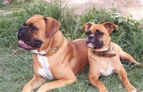 boxer weight boxer weight 50 70 lbs breeds picture
