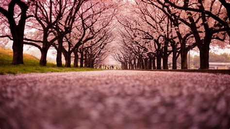 Wallpapers For Walls Japan Cherry Blossoms Tokyo Cityscapes Hanami Wallpaper