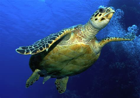 images of turtles hawksbill turtle sea turtles species wwf