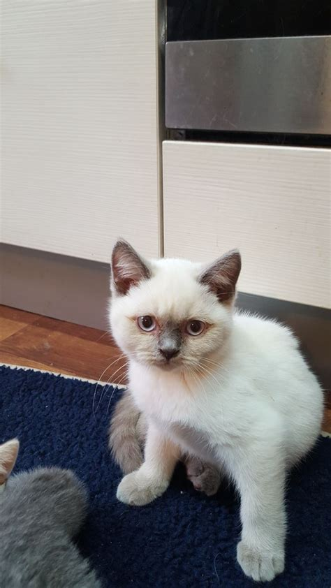 cats for sale plymouth lilac colourpoint shorthair plymouth