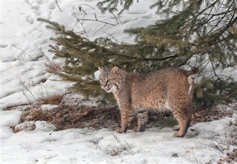 how to a to hunt small how to hunt the elusive bobcat liveoutdoors
