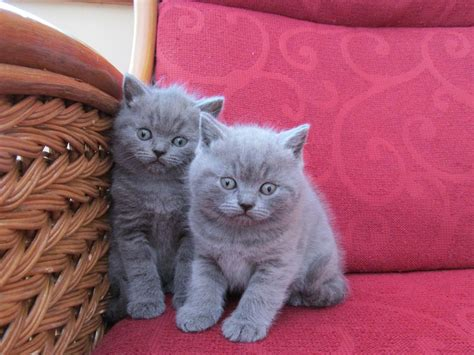shorthair kittens for sale blue shorthair boys for sale woodhall spa