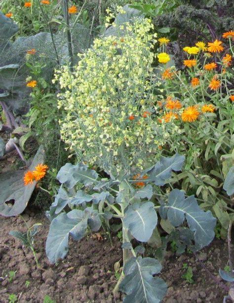 mein schöner garten forum brokkoli pflanzen brokkoli pflanzen brokkoli auss en