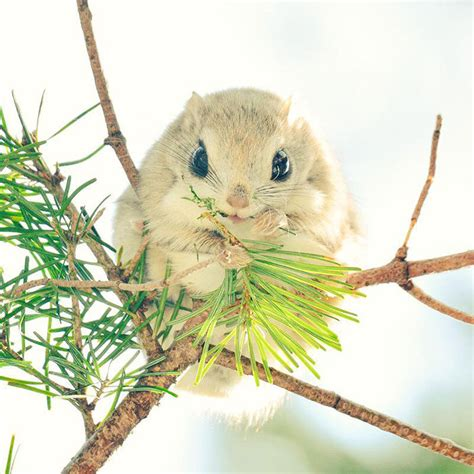 scoiattoli volanti giapponesi gli scoiattoli volanti giapponesi e siberiani sono forse