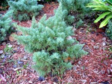 Juniperus Chinensis Blue Vase by Juniperus Gardening In The Coastal Southeast