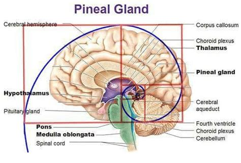 Http Humansarefree 2017 07 Pineal Gland How To Detox Part Of Your Html More by Pineal Gland Cerebral Hemisphere Corpus Callosum Choroid