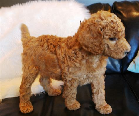 standard poodle puppies past puppies evergreen canine