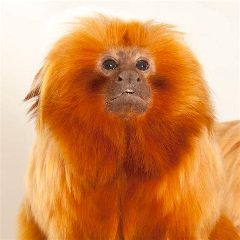 where did the golden live golden tamarin national geographic