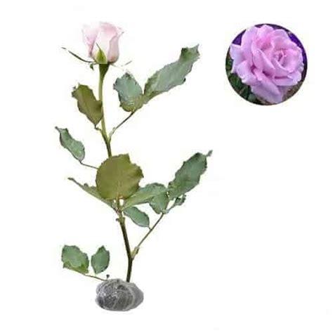 Jual Bibit Bunga Mawar Di Makassar jual tanaman mawar ungu pucat bibit