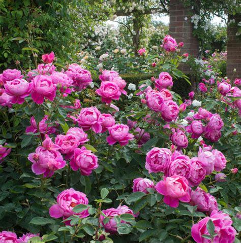 rose royal rose royal jubilee auspaddle