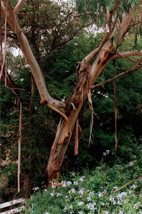 Tree That Sheds Bark by Australian Trees