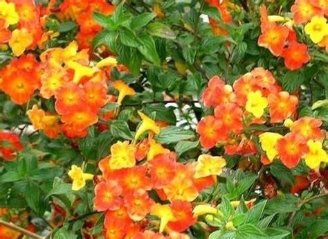 cespuglio fiorito come coltivare le piante da giardino piante in giardino
