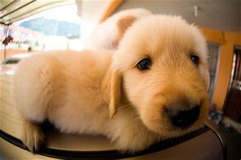 adopt a golden retriever puppy for free golden retriever puppies for free adoption