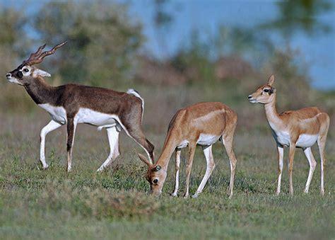 thar desert animals antelope wikipedia