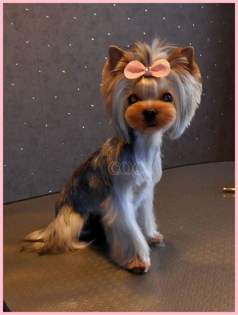 how does it take to groom a yorkie best 20 yorkie hairstyles ideas on yorkie hair cuts terrier