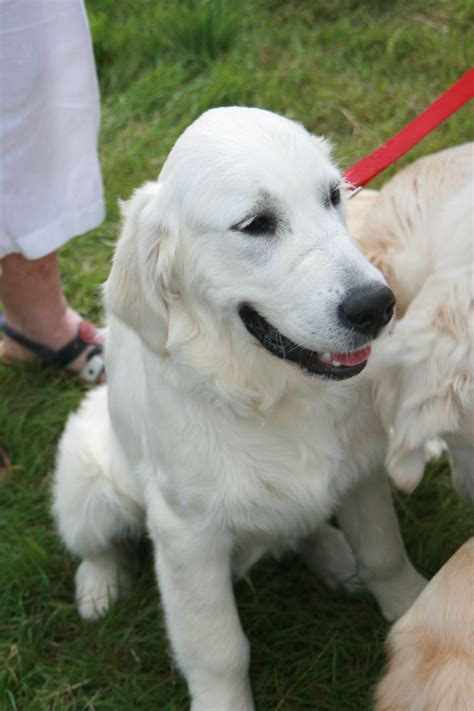 golden retriever 8 months 8 months golden retriever southport merseyside pets4homes