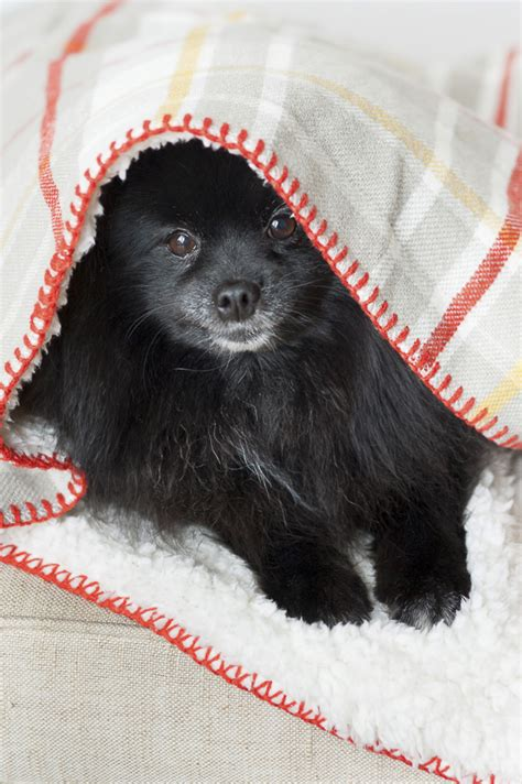pug puppies syracuse ny focus lulu franny darla daily tagdaily tag