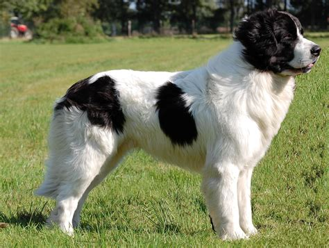 landseer puppies landseer history personality appearance health and pictures