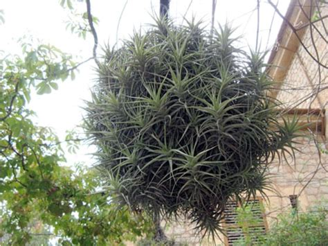 magical air plants how to grow and care