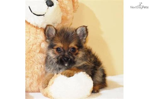 yorkie poo nj pin yorkie poodles image search results on