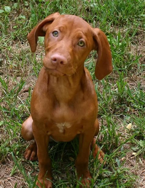 viszla puppies vizsla puppy by vincent duis