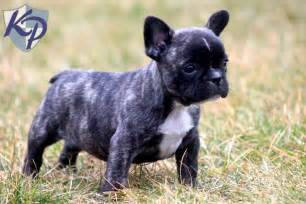 boston bulldog puppies for sale frenchie mix puppies for sale in pa breeds picture