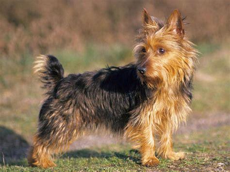 australian yorkie terrier australian silky terrier vs yorkie breeds picture