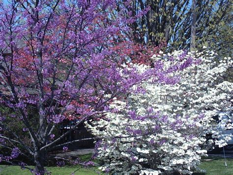 japanese redbud tree photos my favorite easter flowers slide show