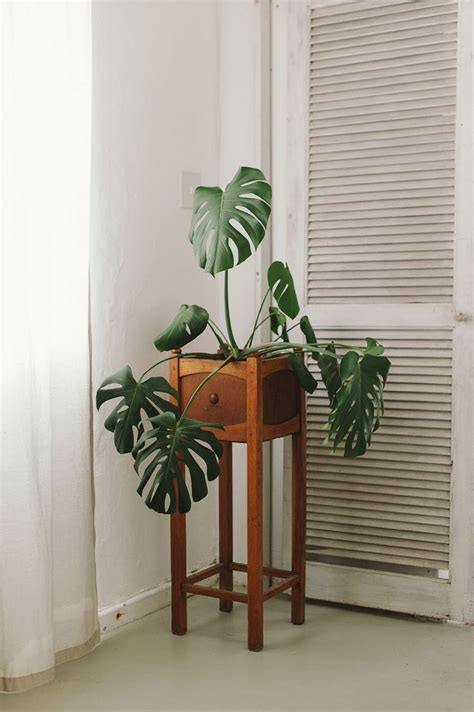 t d c interior styling indoor plants 17 best ideas about cheese plant on pinterest monstera