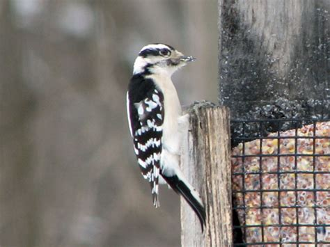 best 28 woodpeckers in wisconsin day hiking trails