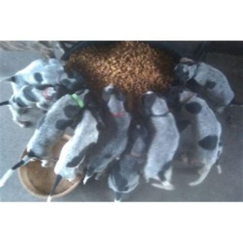 bluetick coonhound puppies for sale near me house of blueticks bluetick coonhound breeder in plant city florida