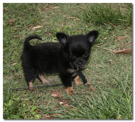 how to potty a chihuahua puppy how to potty a 6 week chihuahua puppy dogs our friends photo
