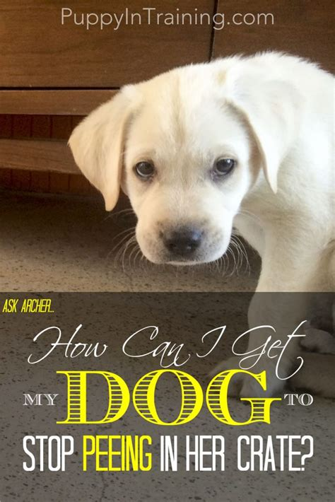 how to stop my dog from urinating in the house how can i get my dog to stop peeing in her crate