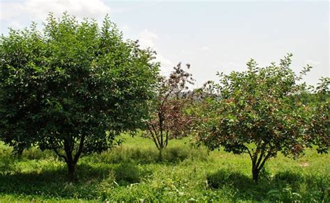 cherry tree journal planning your homestead orchard benefits of trees the prepper journal
