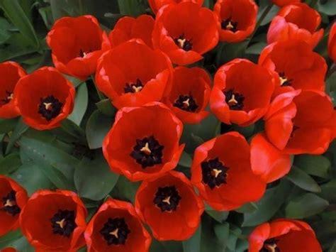 significato dei fiori tulipani significato dei tulipani significato fiori la magia di