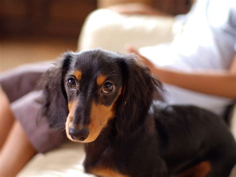 longhaired dachshund puppy file dachshund longhaired puppy jpg wikimedia commons