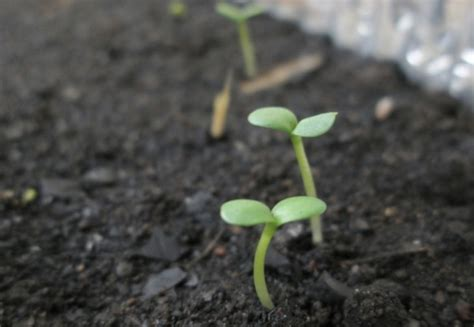 Bibit Terong Kecil cara menanam tomat dalam pot atau polybag bibitbunga