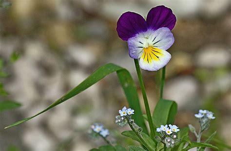 violetta fiore violetta e quot occhi della madonna quot foto immagini macro e