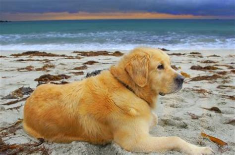 golden retriever dangerous top 10 most dangerous expensive loyal fascinating breeds the pets central
