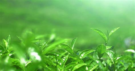 Growing Green fresh green tea leaves move on wind in sri