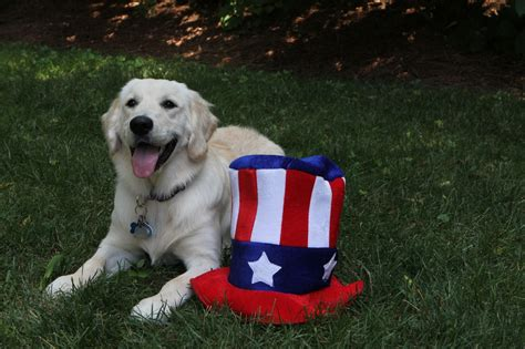 golden retriever day independence day golden retriever photo and wallpaper beautiful independence day